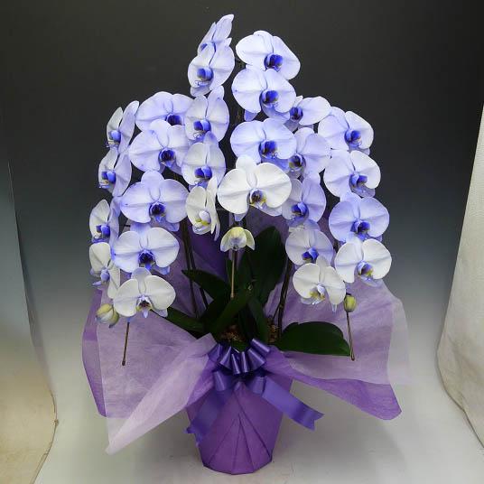 胡蝶蘭 大輪 パープルエレガンス 紫 3本立ち(2本から7本選べます)(即日送可)